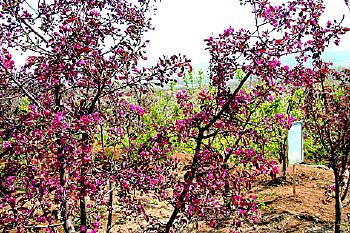圣母山海棠园 19种海棠让你惊艳