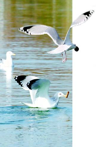 """济南动物园相关动物专家经过比对图片后确认,""""确实是海鸥""""."""